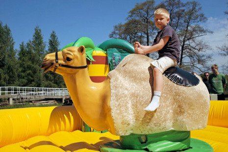 dla-doroslych-wielblad-rodeo-01